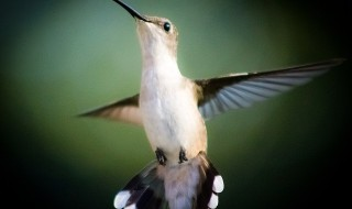 hummingbird-246114_640